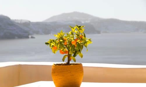 Grow your own supply of vitamin C with indoor citrus trees.