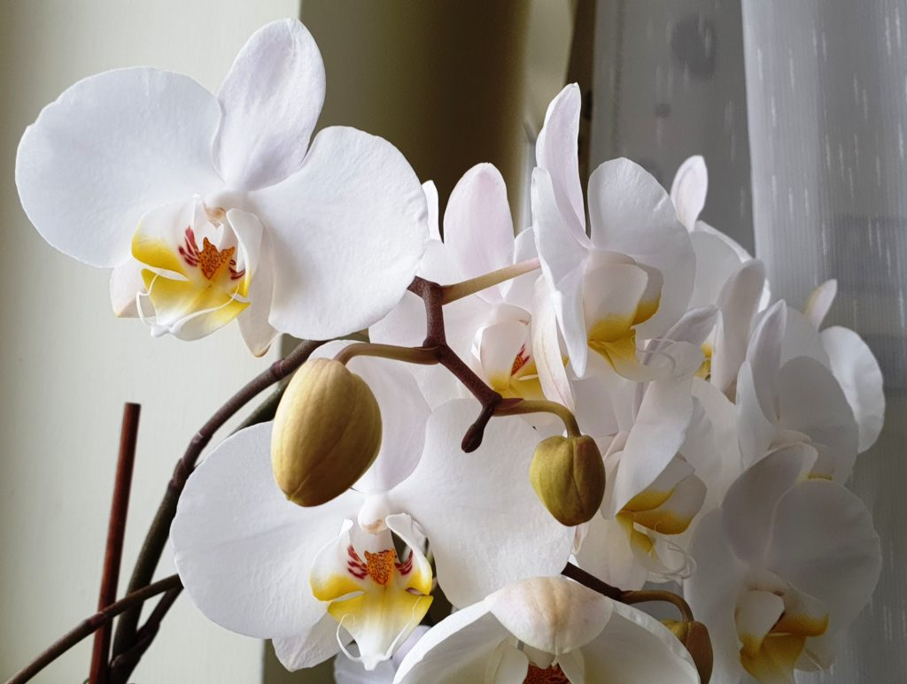 Orchids are safe for animals
