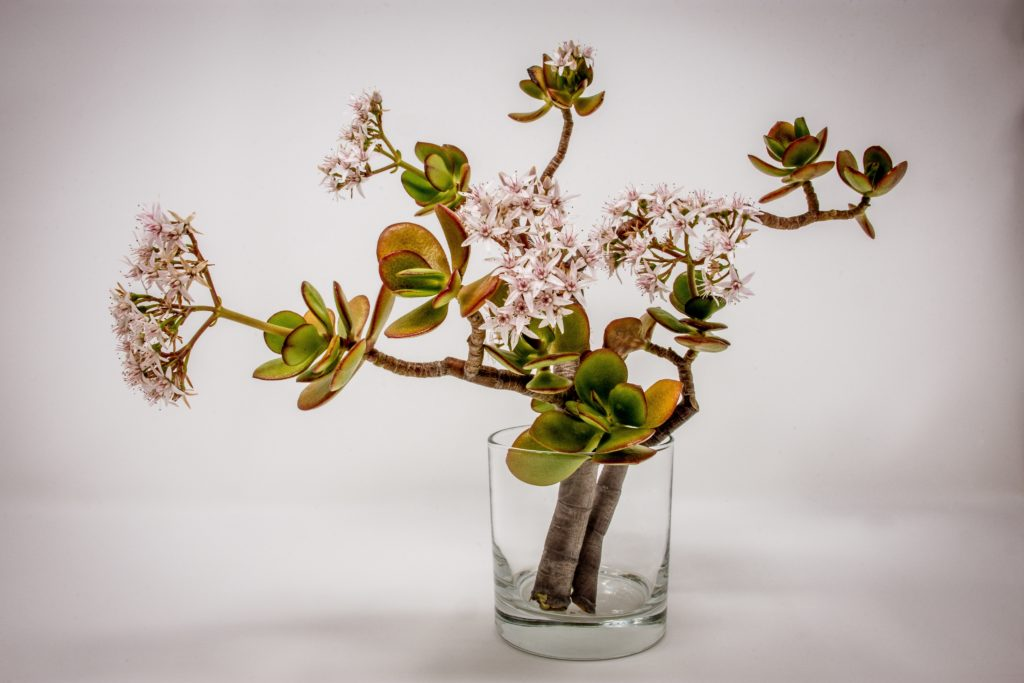 unsafe jade plant for cats