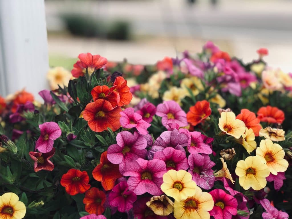 pansies are safe for animals