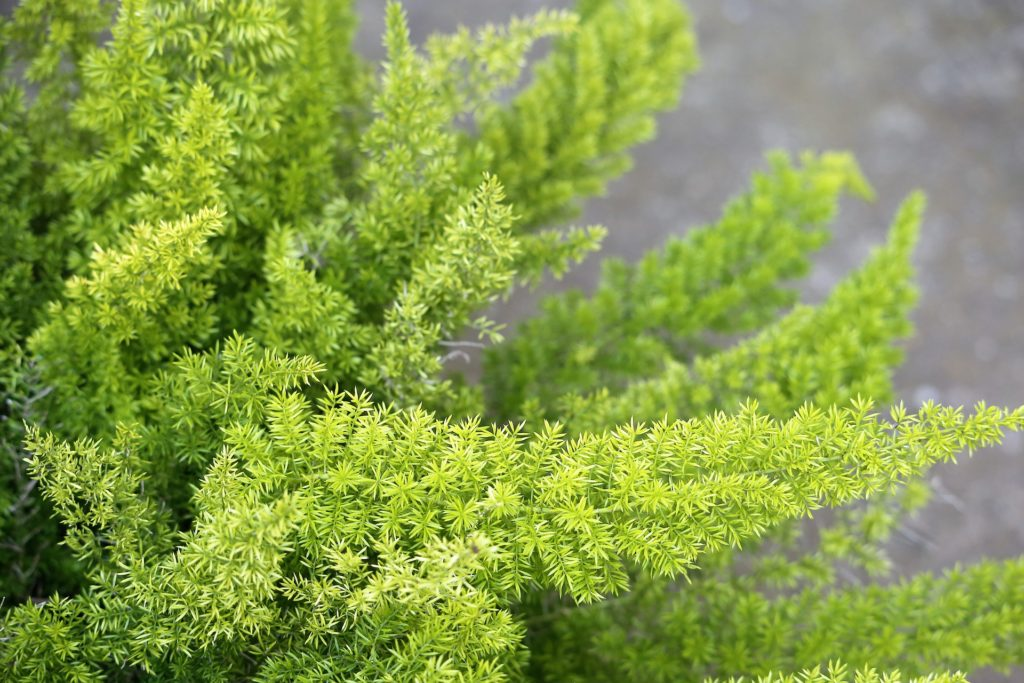 asparagus fern housplant unsafe for cats