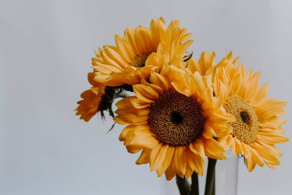 sunflowers are safe for animals