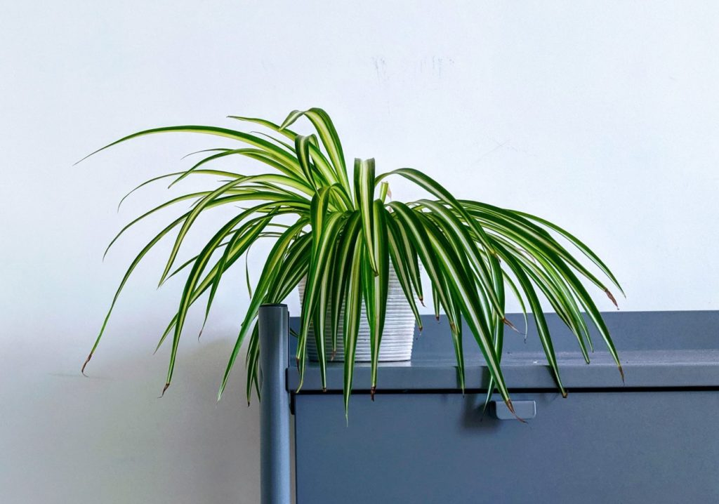 spider plants are safe for rabbits