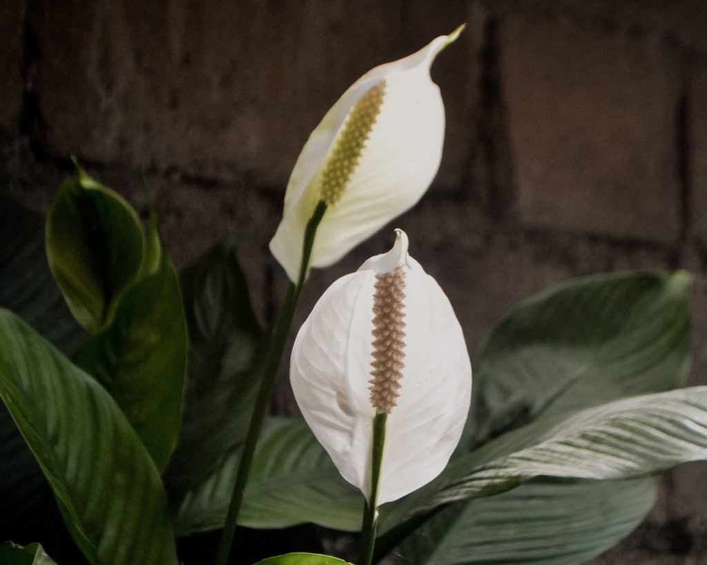 peace lily unsafe houseplant for cats