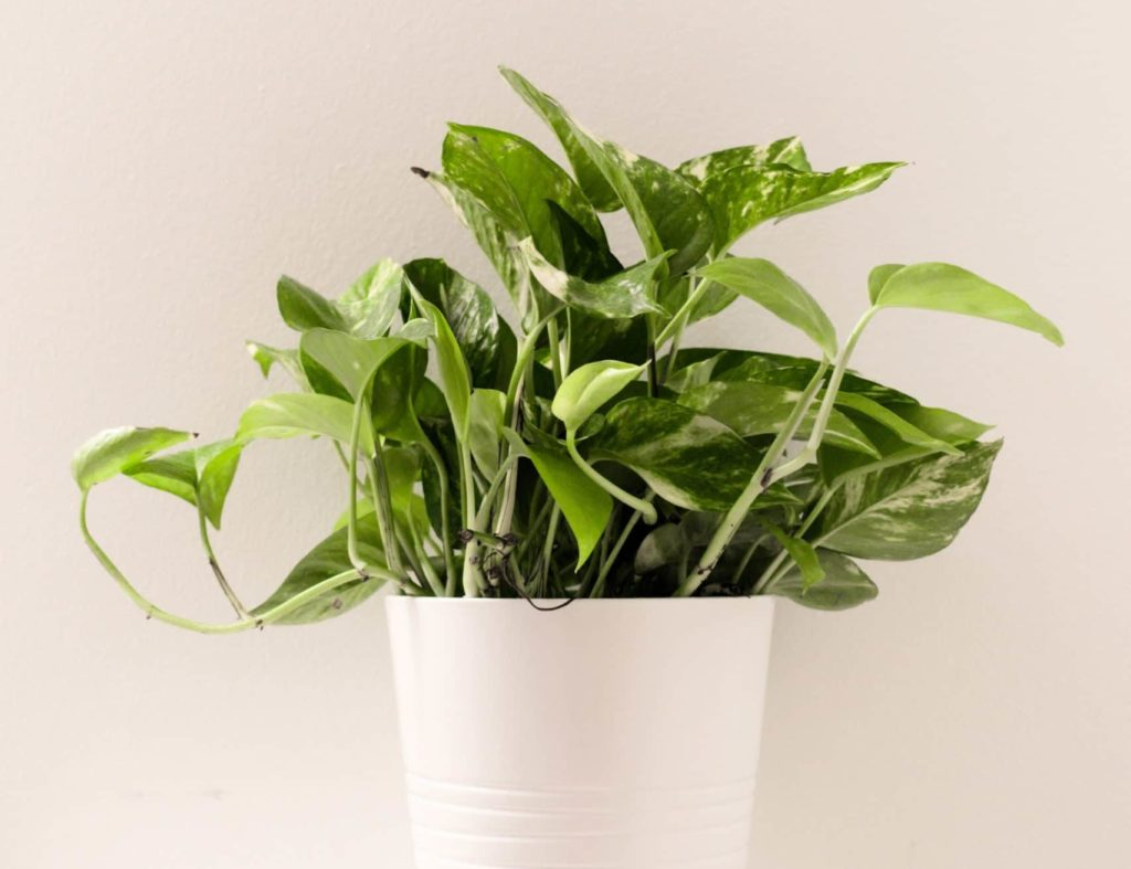 unsafe houseplants