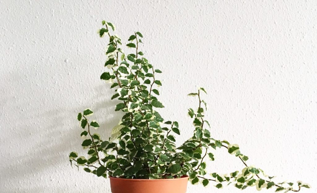 english ivy housplants unsafe for cats