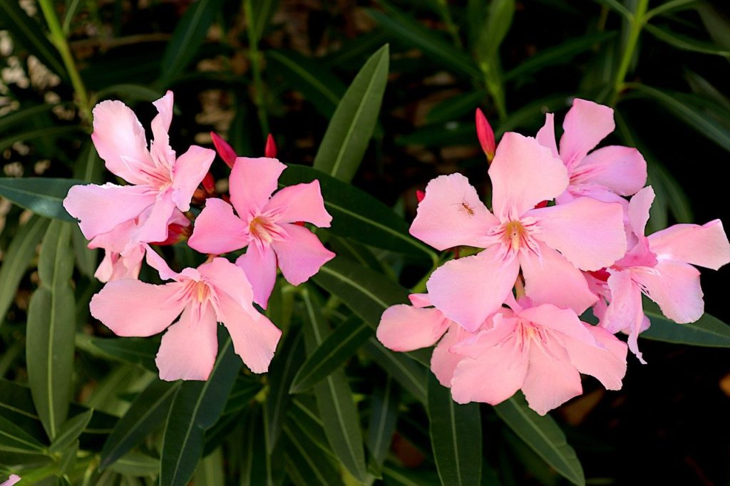 oleander is a poisonous houseplant for babies