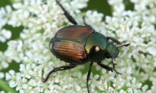 These simple, yet effective essential oils repel Japanese Beetles